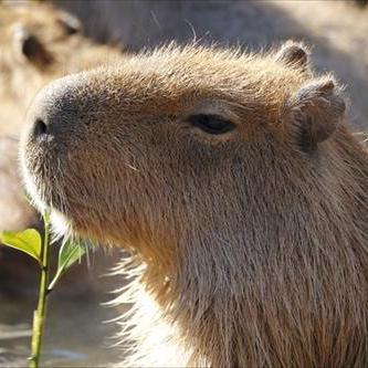 s-capybara