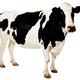 cow1296