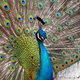 indian_peafowl