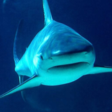 GREAT__SHARK