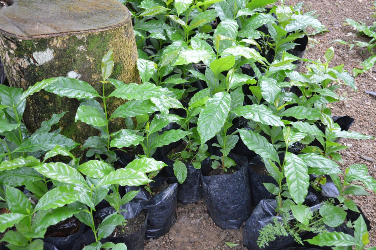 130813-Coffee-seedlings-just-before-planting.jpg