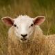 tomi_sheep