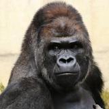 gorilla0513